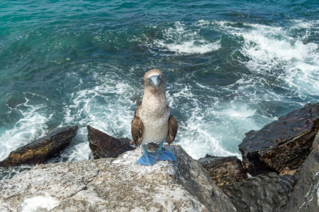 blue-footed-boobie-galapagos