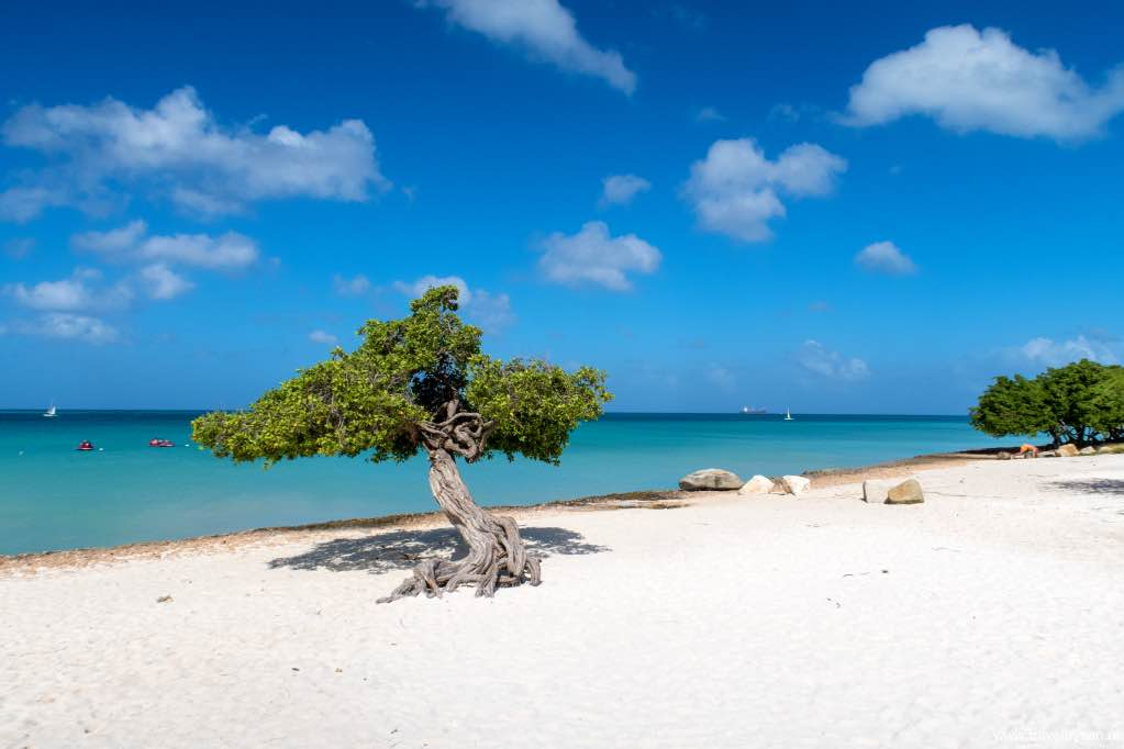 Dividivi-Aruba