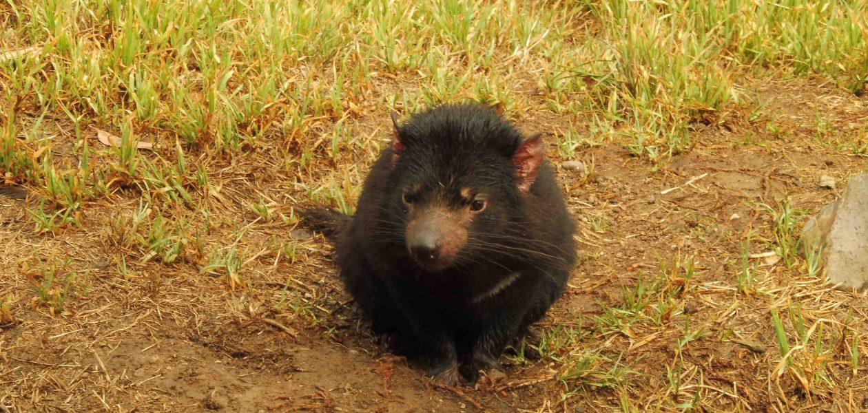 Tasmanië Tasmaanse duivel Tasmanian devil