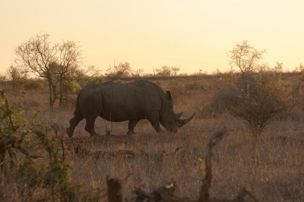 neushoorn afrika