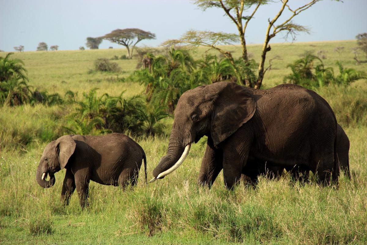 olifant serengeti