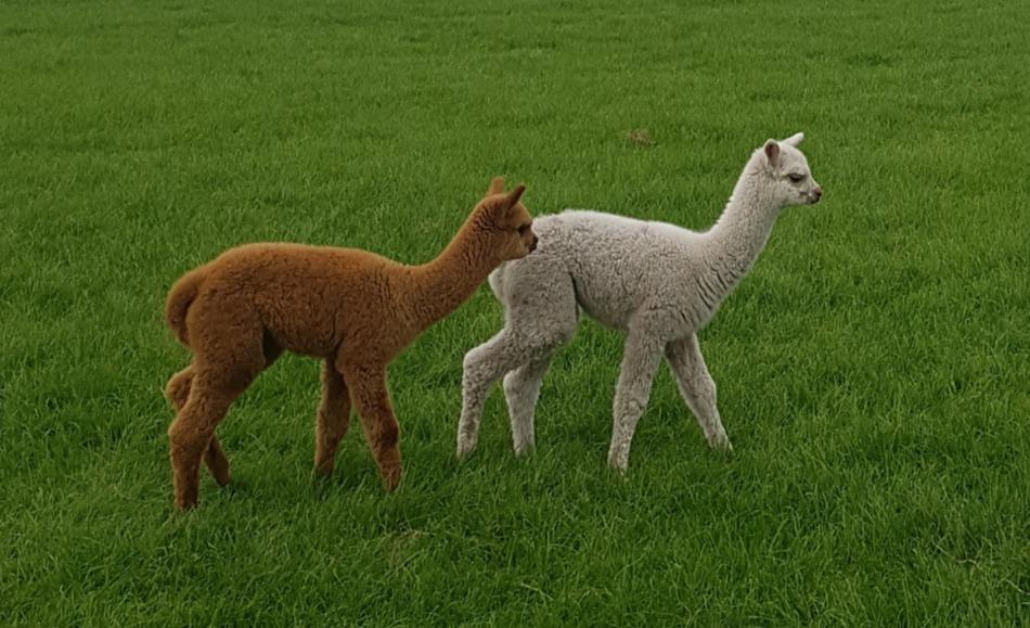Alpaca Farm Vorstenbosch